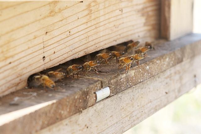 ミツバチ お尻ピン!