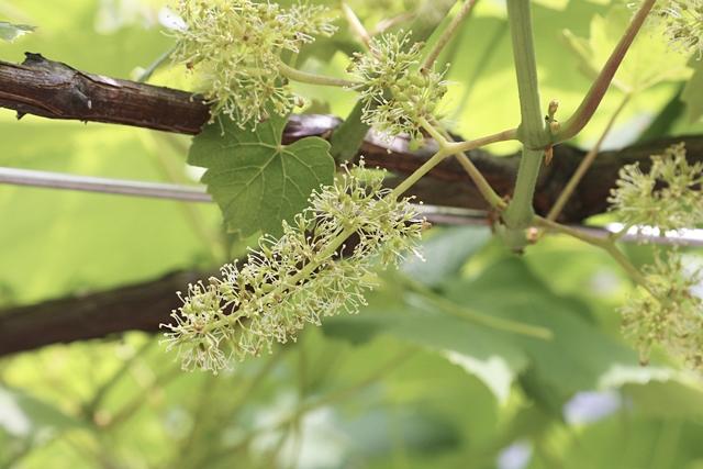 デラウエアの花