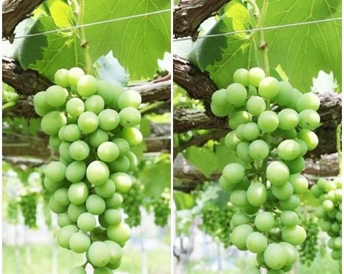大粒ブドウ(巨峰)の実を大きくする為の「粒間引き」始めてます♪