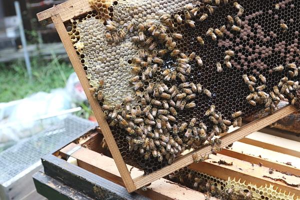 知りたくないですか?優しい性格の日本ミツバチとちょっと気の荒い西洋ミツバチの違いを💛
