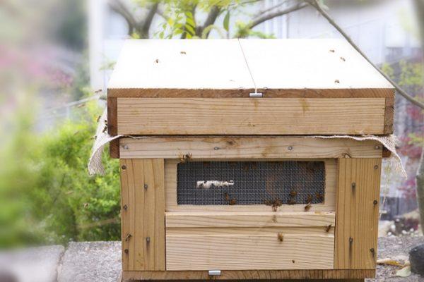 今日は我が家のミツバチの嫁入り日でした♪ はい!ミツバチは御嫁入もします